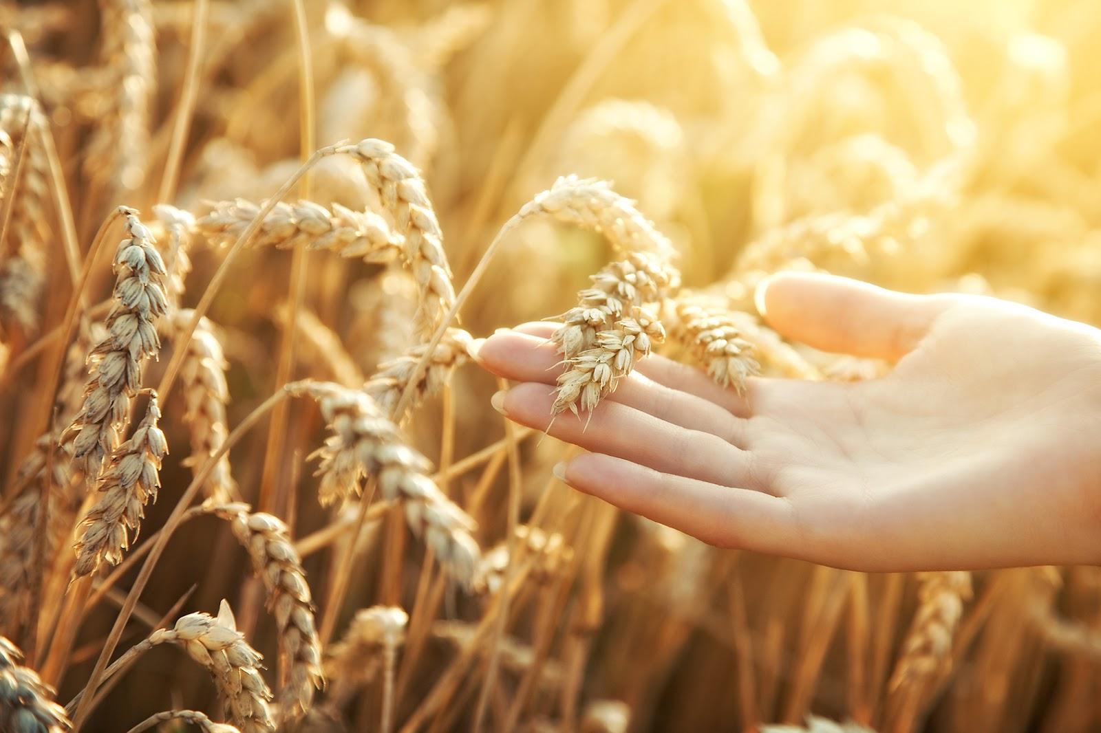 Фон поле пшеницы
