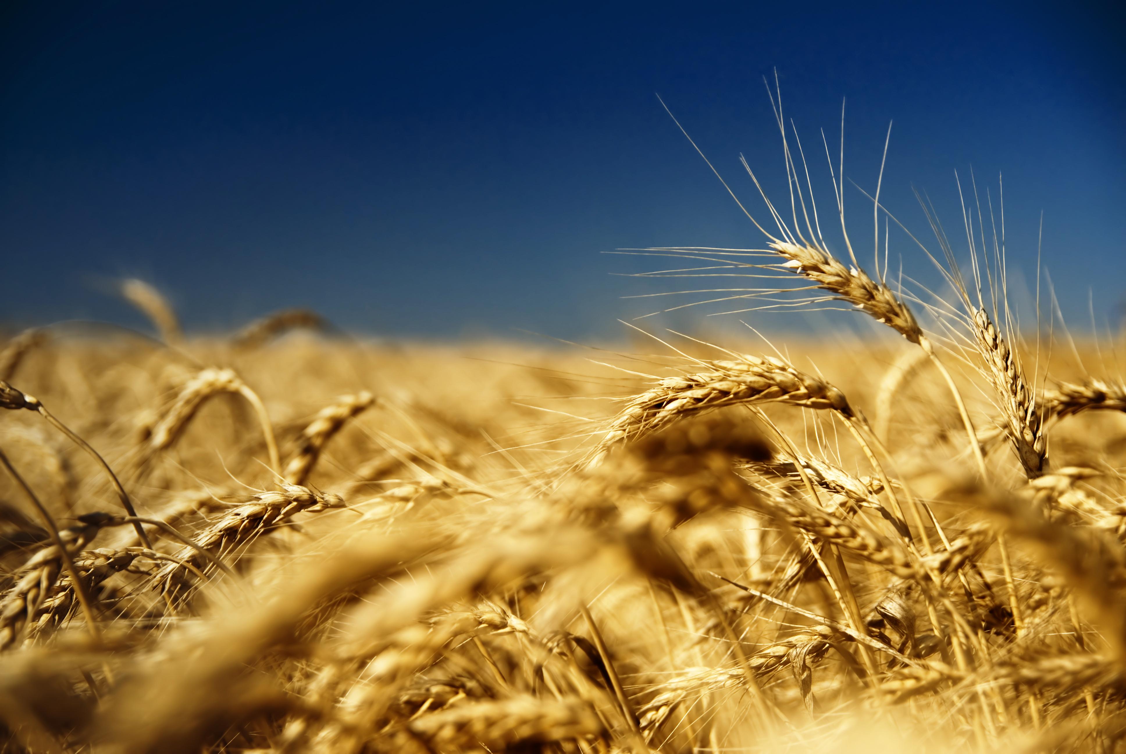 Пшеничное поле Wheatfield