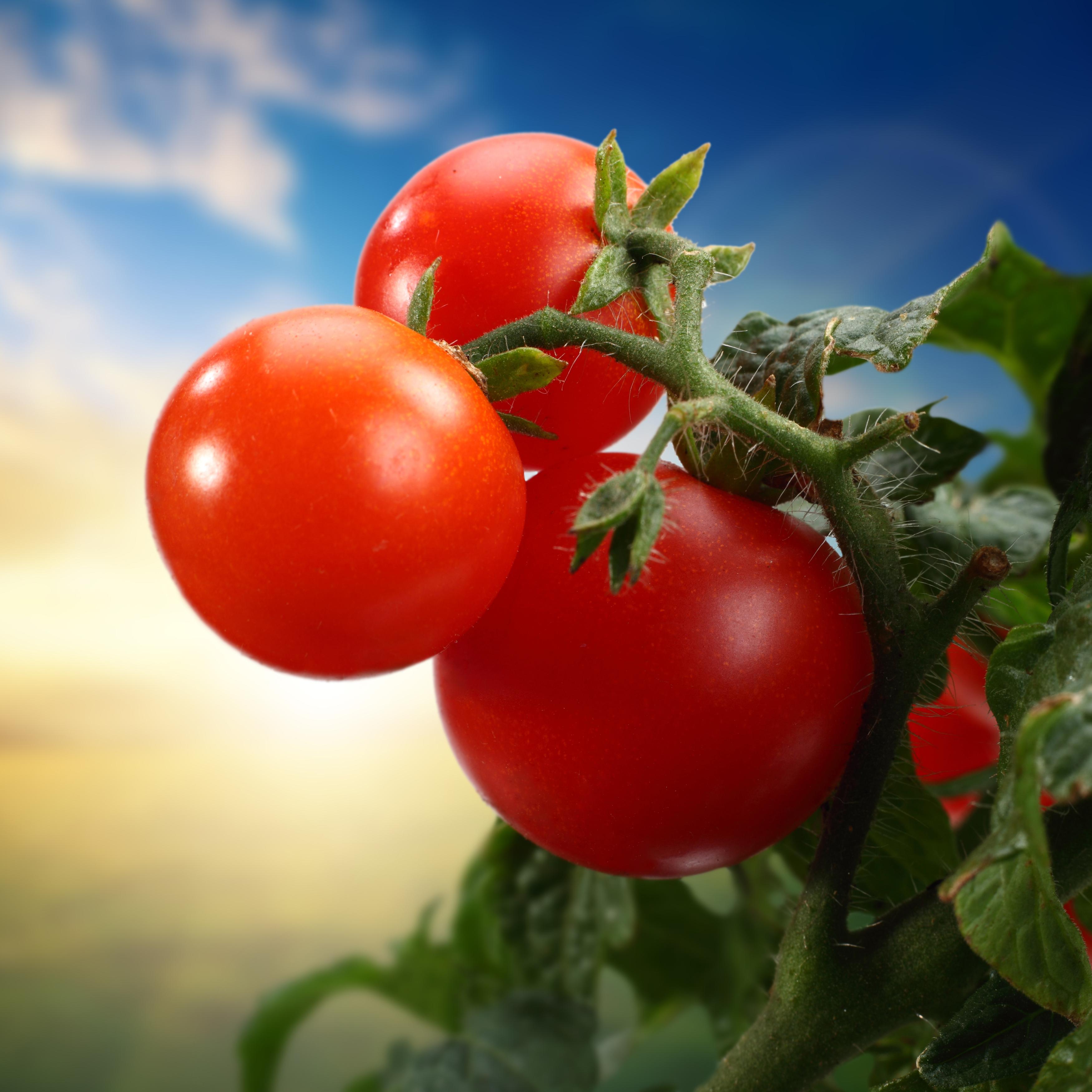 помидоры на ветке крепко