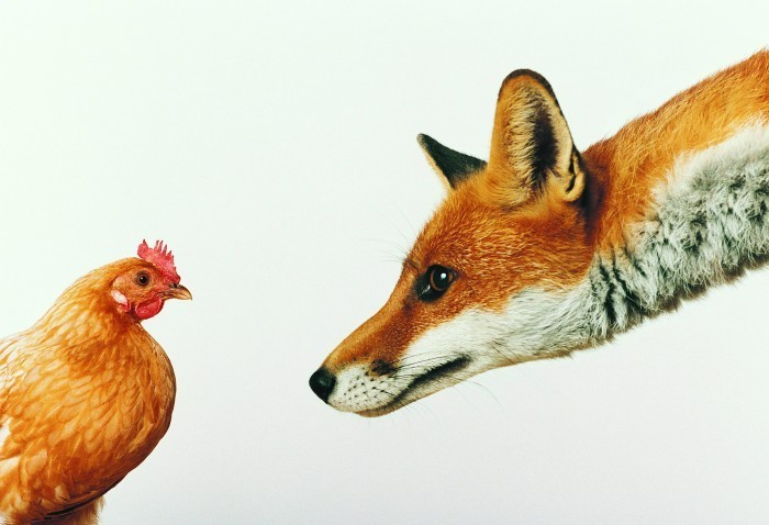 fox and chicken Лиса и курица   Fox and the Chicken