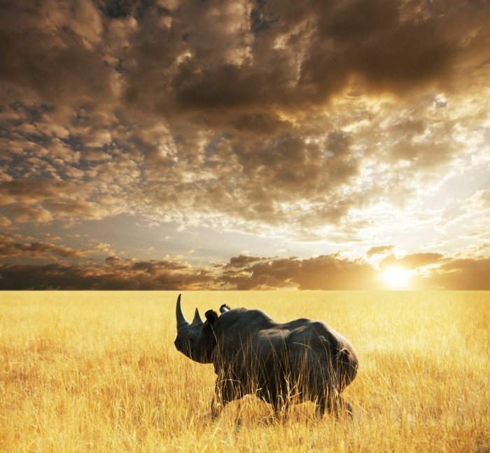 p 566 Носорог   Rhino