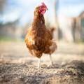 Курица - Chicken