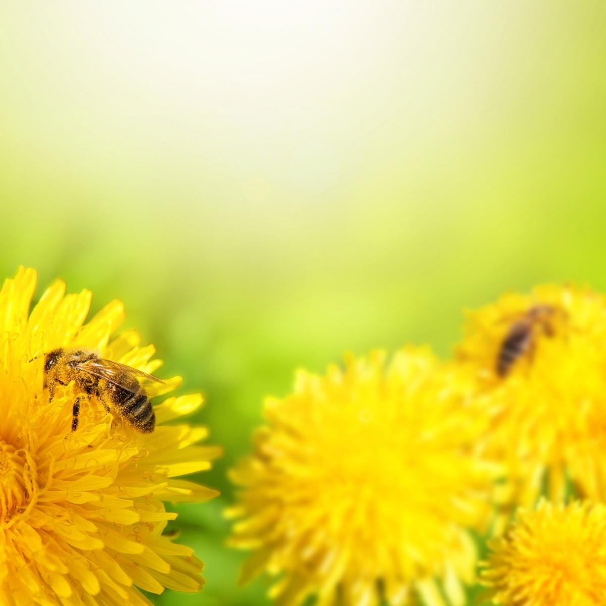 Качественный растровый клипарт с изображением пчел на желтых цветах.