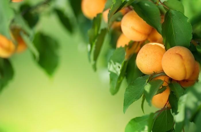 Персик на дереве - Peach on tree