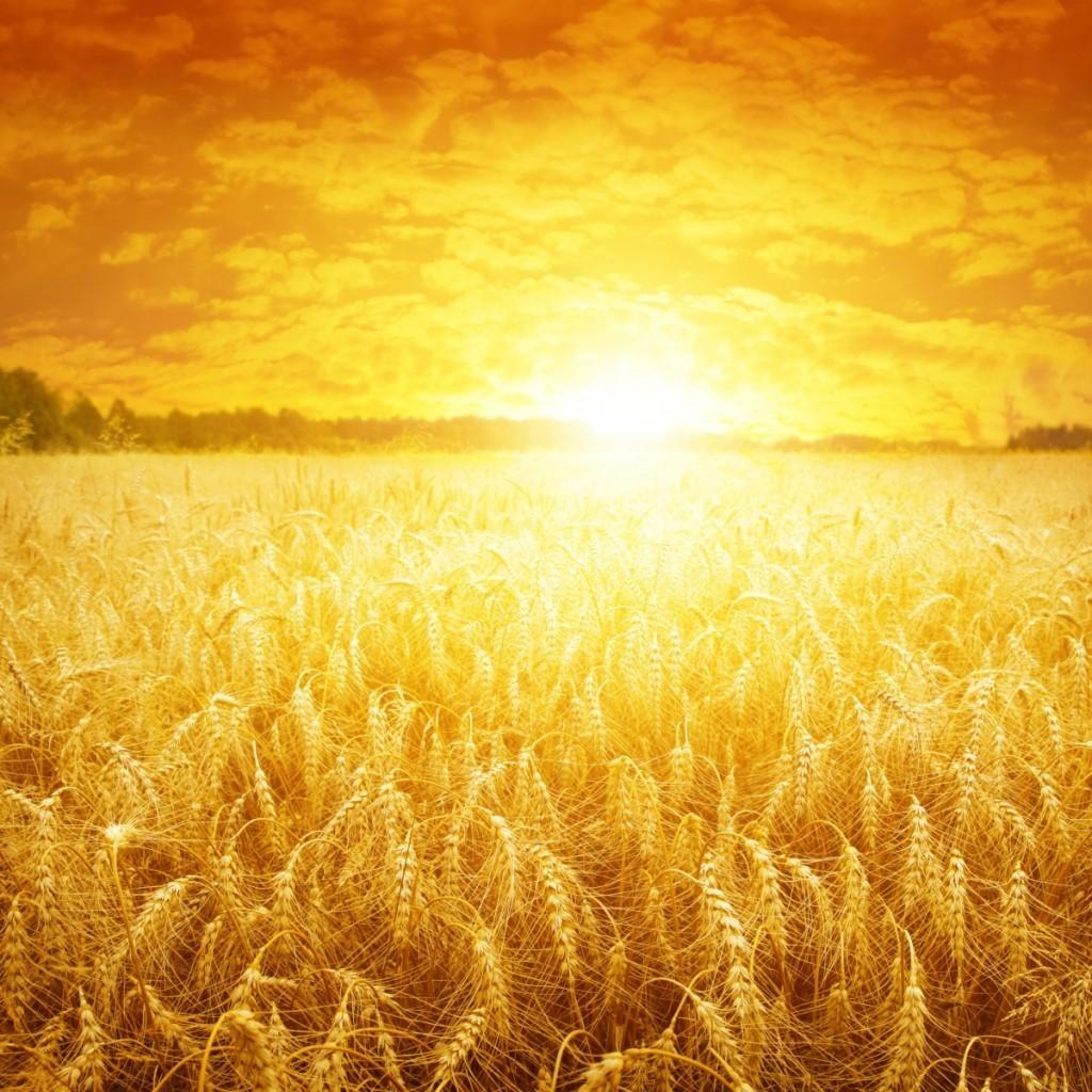 Золотое пшеничное поле стоковое фото. Изображение.