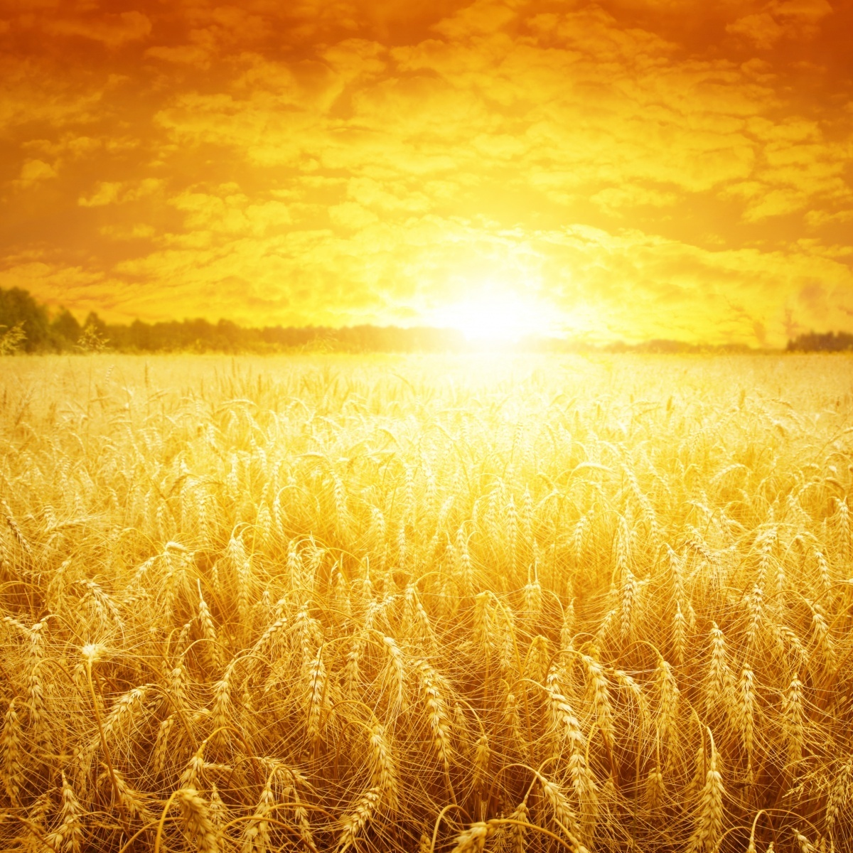 Пшеничное поле - Wheat field