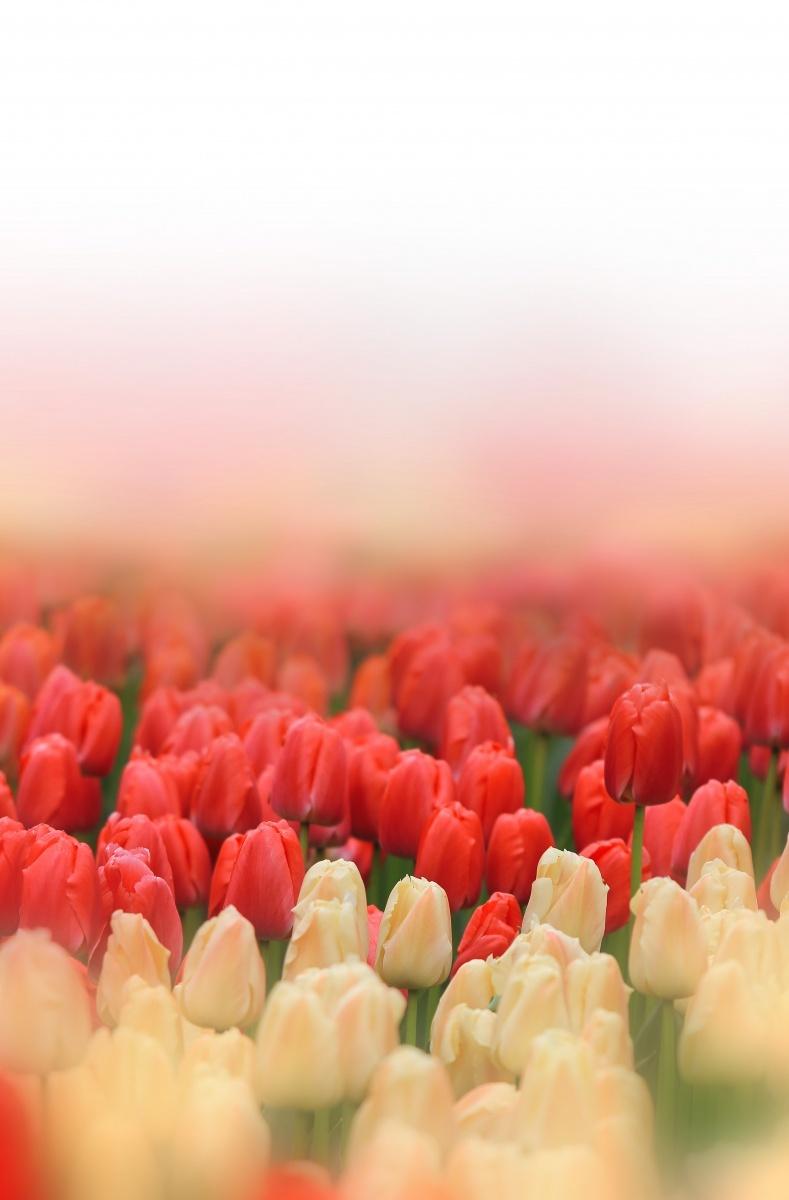 tulipsfield Поле тюльпанов   Tulips field