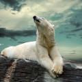 Белый медведь - Рolar bear