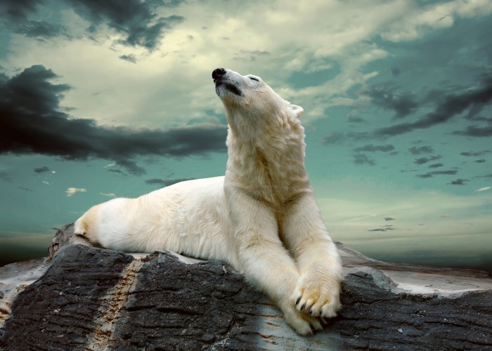 firestock bear 29082013 Белый медведь   Рolar bear