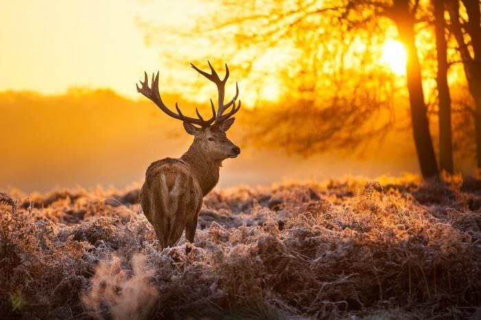 firestock deer 01082013 Олень   Deer