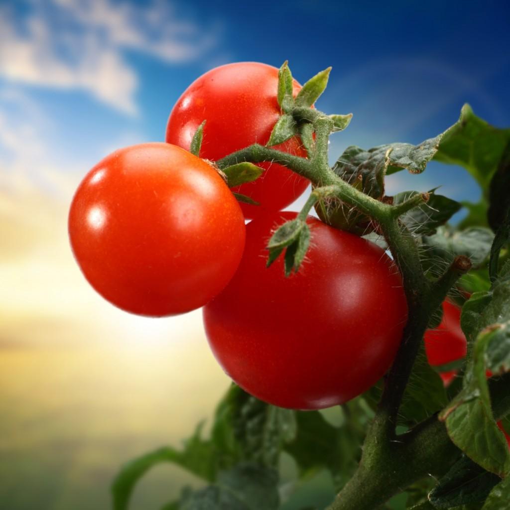 firestock tomatoes 02082013 1024x1024 Помидоры   Tomatoes