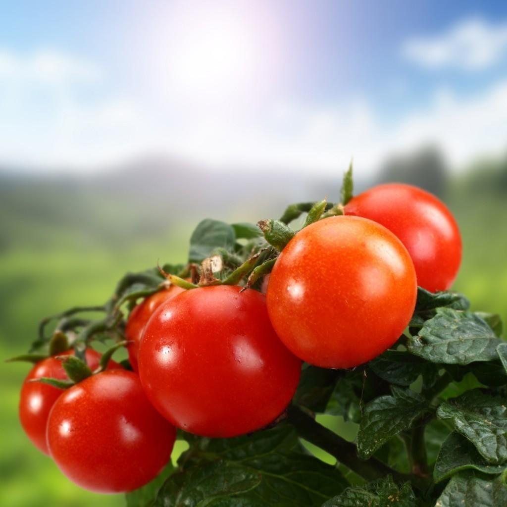 firestock tomatoes 05082013 1024x1024 Помидоры — Tomatoes