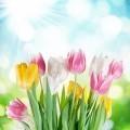 Нежные тюльпаны - Delicate tulips