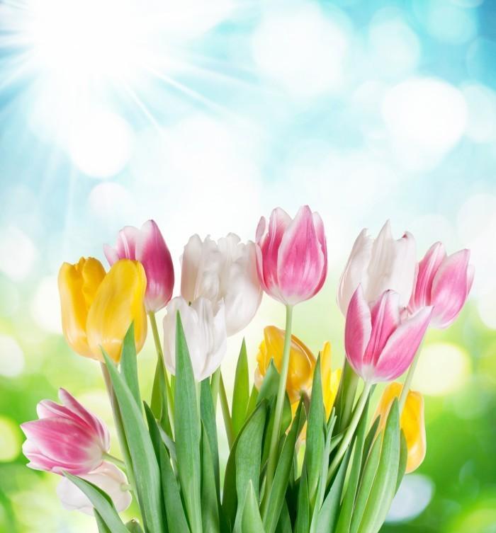 firestock tulips 19082013 700x753 Нежные тюльпаны   Delicate tulips