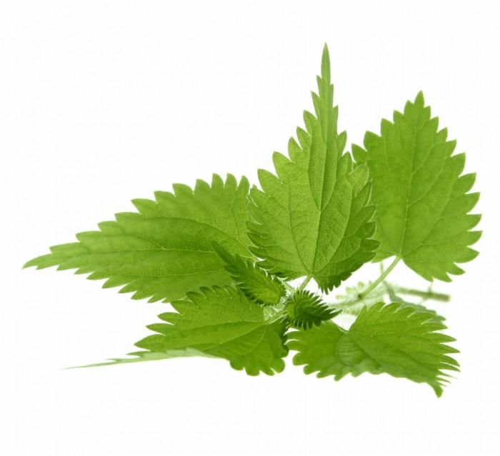 nettles Листья крапивы   Nettle