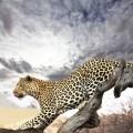Ягуар в прыжке - Jaguar in the jump