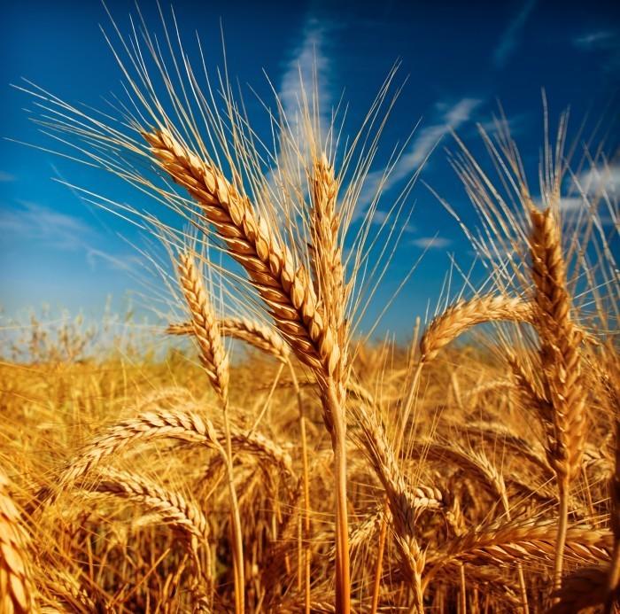 shutterstock 65943406 Пшеница   Wheat