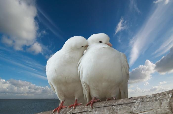 1259429133 shutterstock 1632506 Пара голубей   Сouple of doves