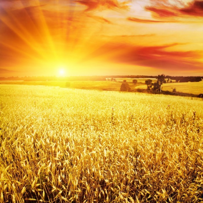bigstock Wheat field at sunset 24968420 700x700 Пшеничное поле   Wheatfield