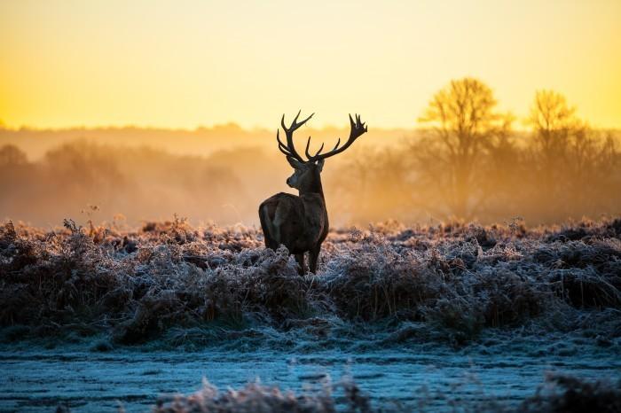 firestock deer 09092013 Олень на закате   Deer at sunset