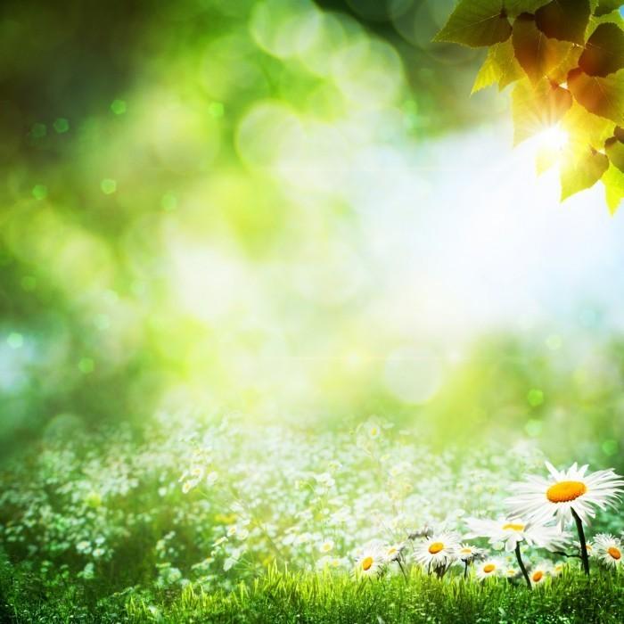 firestock flowers 03092013 700x700 Поле ромашек на рассвете   Field of daisies at dawn
