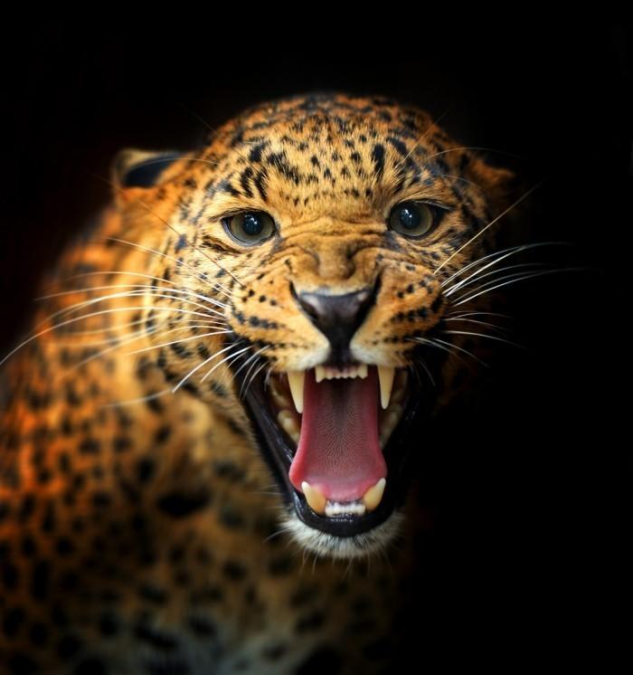 firestock leopard 020920131 700x746 Леопард   Leopard