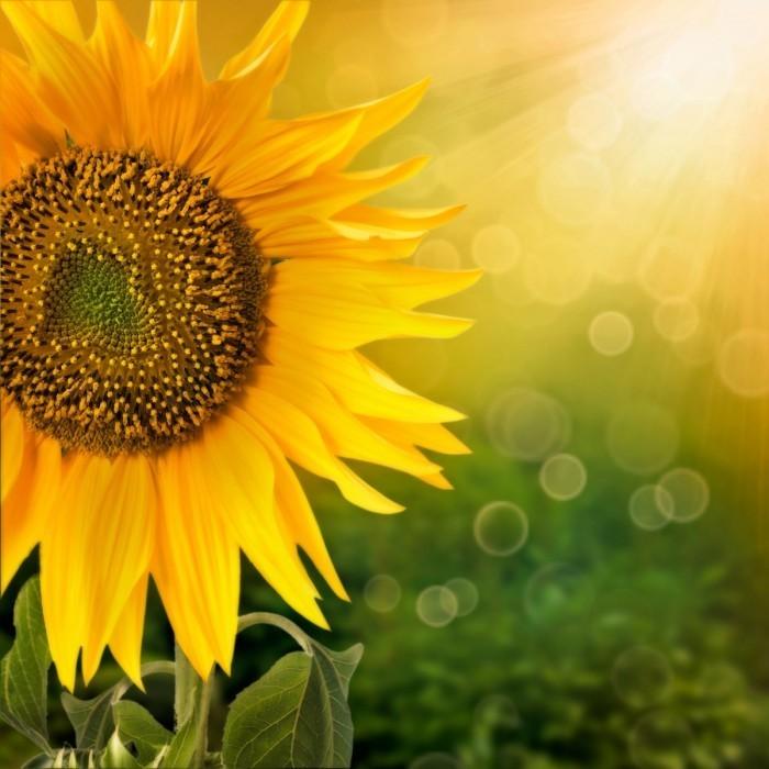 firestock sunflower 020920131 700x700 Подсолнух   Sunflower