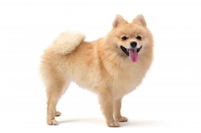 pomeranian Собака   Dog
