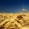 Пшеничное поле - Wheatfield