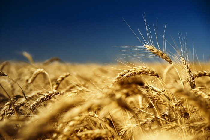 shutterstock 29012992 Пшеничное поле   Wheatfield