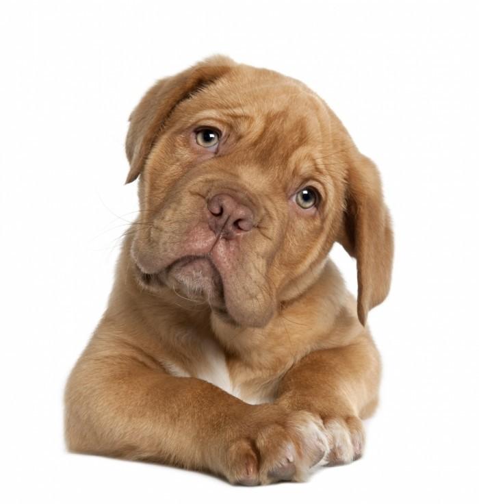 shutterstock 57612025 700x736 Собака   Dog