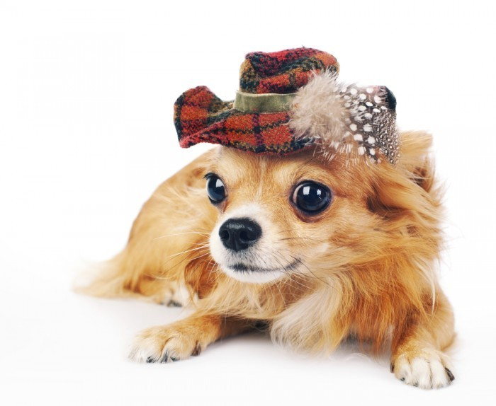 shutterstock 81554065 Собачка в шляпе   Dog in the hat