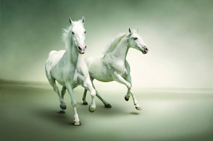 two white horses Двое белых лошадей   Two white horses