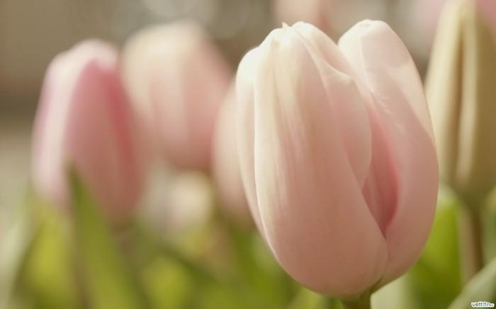 vetton ru yuczhc 2560x1600 Розовые тюльпаны   Рink Tulips