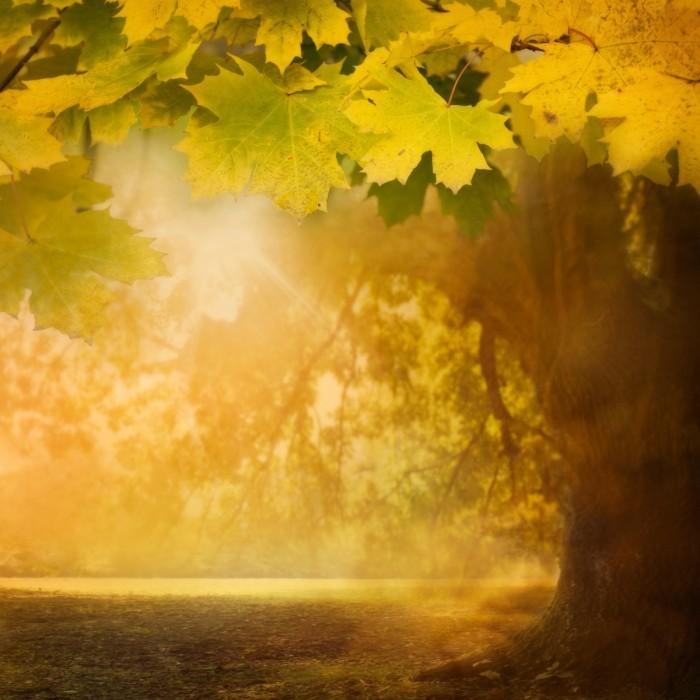 firestock autumnnature 02102013 700x700 Дерево клена осенью   Maple tree in autumn