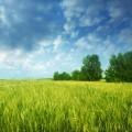 Зеленое поле - Green field