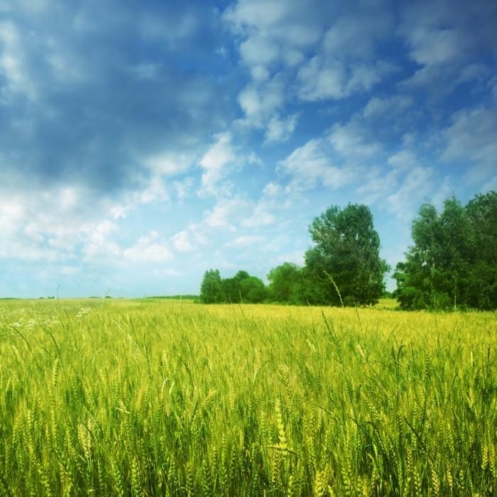 firestock field 08102013 700x700 Зеленое поле   Green field