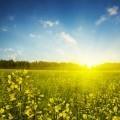 Желтое поле - Jellow field