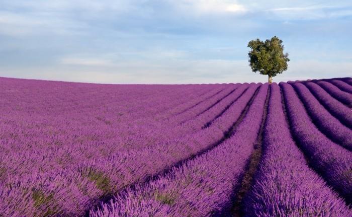 firestock lavanda 04102013 Лавандовое поле   Lavender field