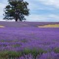 Лавандовое поле - Lavender field