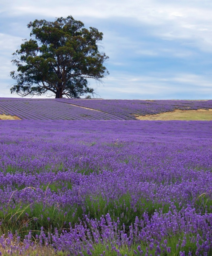 firestock lavanda 08102013 700x844 Лавандовое поле   Lavender field