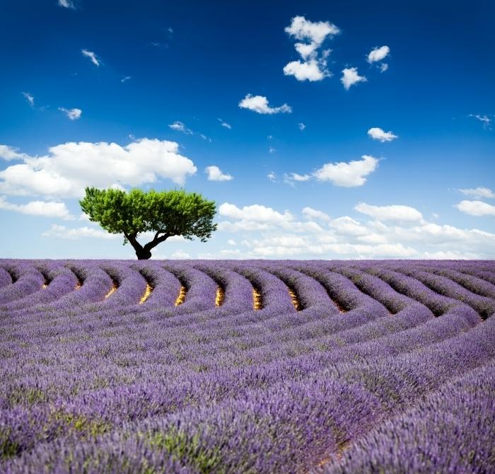 firestock lavanda 28102013 Лавандовое поле   Lavender field