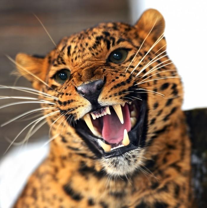 firestock leopard 10102013 700x705 Пасть леопарда   Mouth leopard