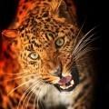 Леопард - Leopard