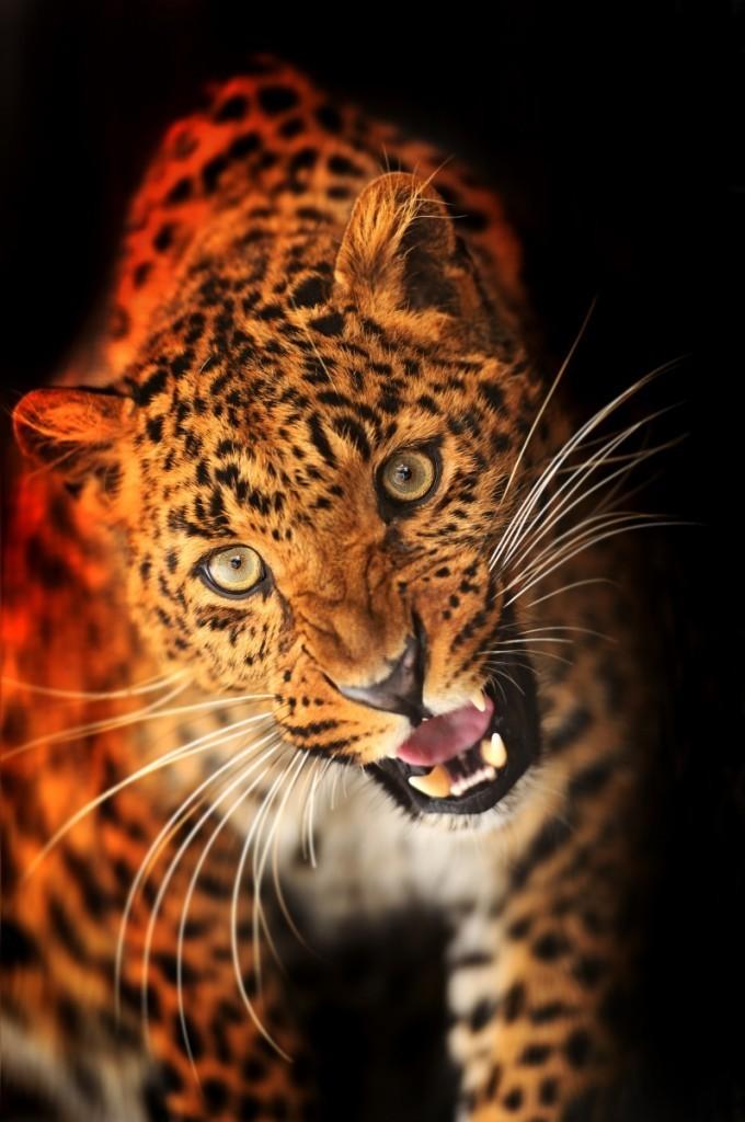 firestock leopard 11102013 680x1024 Леопард   Leopard