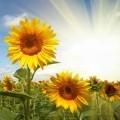 Подсолнухи в поле - Sunflowers in a field