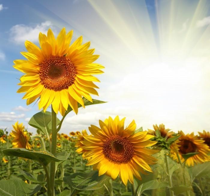 firestock sunflower 10102013 Подсолнухи в поле   Sunflowers in a field