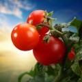 Помидоры на ветке - Tomatoes on a branch