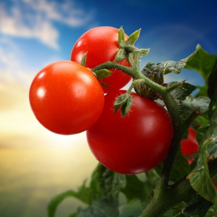 firestock tomate 11102013 700x700 Помидоры на ветке   Tomatoes on a branch