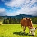 Корова на альпийском лугу - Cow on an alpine meadow